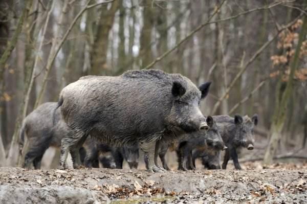 了解野猪习性,抓野猪更高效率