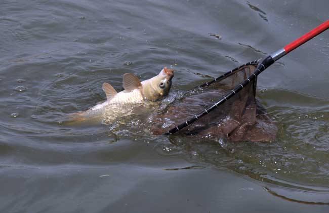 教你什么时间段捕鲤鱼最好?